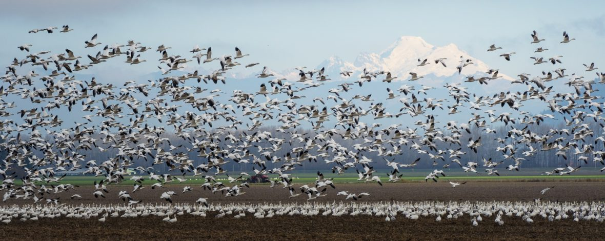 Snow Geese photography by Gena Reebs